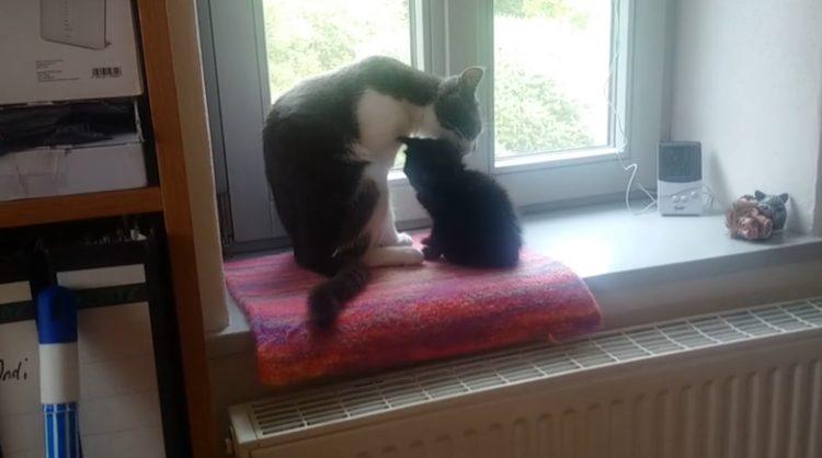 Gatito recibe con amor a su nuevo hermanito