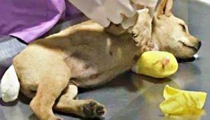 Sólo una cirugía urgente podía salvar la vida de esta perrita atropellada y el tiempo se acababa
