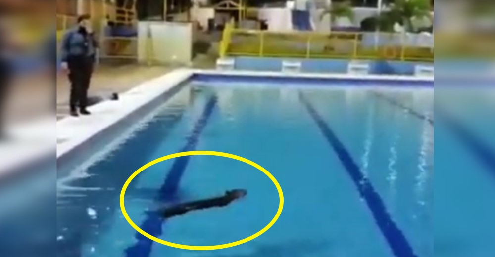 Un animal salvaje aprovecha la soledad de la cuarentena y toma un baño en una piscina