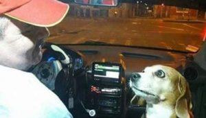 Perrita fiel trabaja como taxista con su padre durante las noches para dar un servicio de lujo