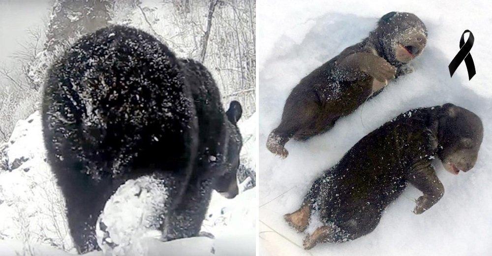 Dos ositos mueren congelados tras ser forzados a salir de la madriguera por unos leñadores