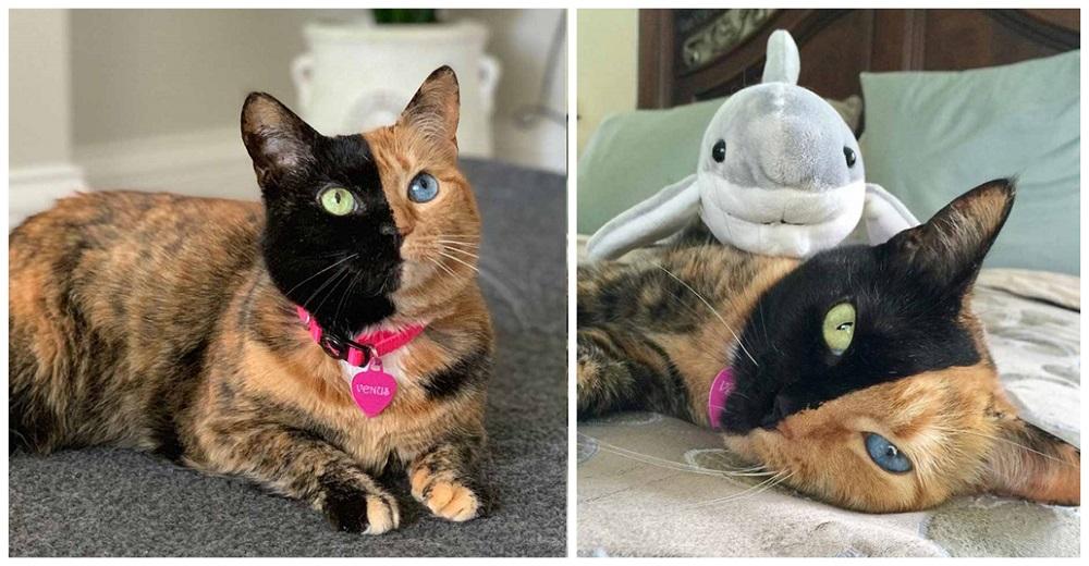 Una gatita de dos caras, un ojito verde y el otro azul, nace para ser una celebridad