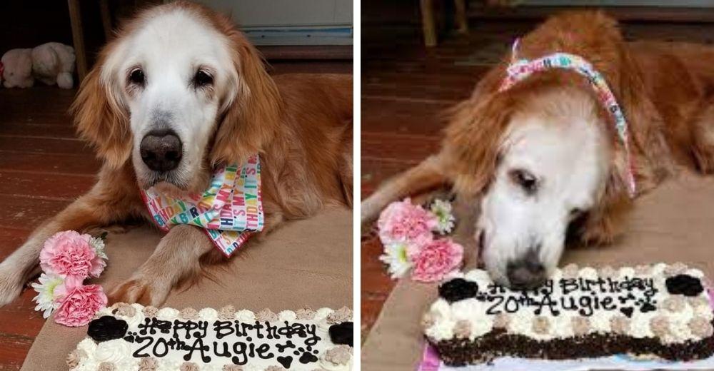 La perrita golden retriever más viejita de la historia celebró su 21° cumpleaños