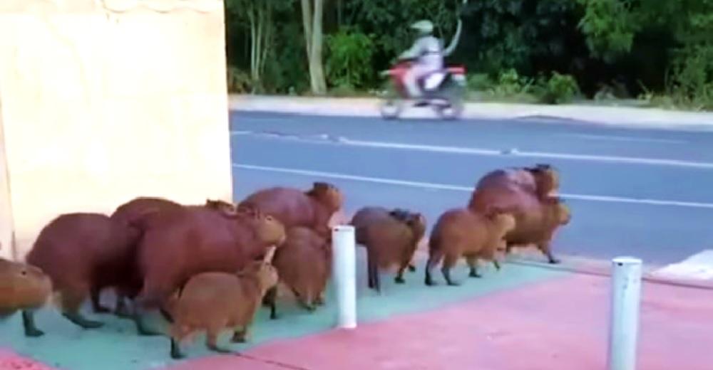 Familia de exóticos animalitos deja a todos atónitos al descubrir cómo usar el paso de peatones