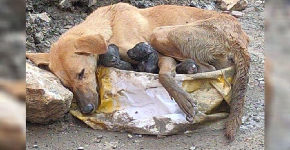 Perrita colapsa aferrada a sus cachorros tras el tremendo esfuerzo de dar a luz entre escombros