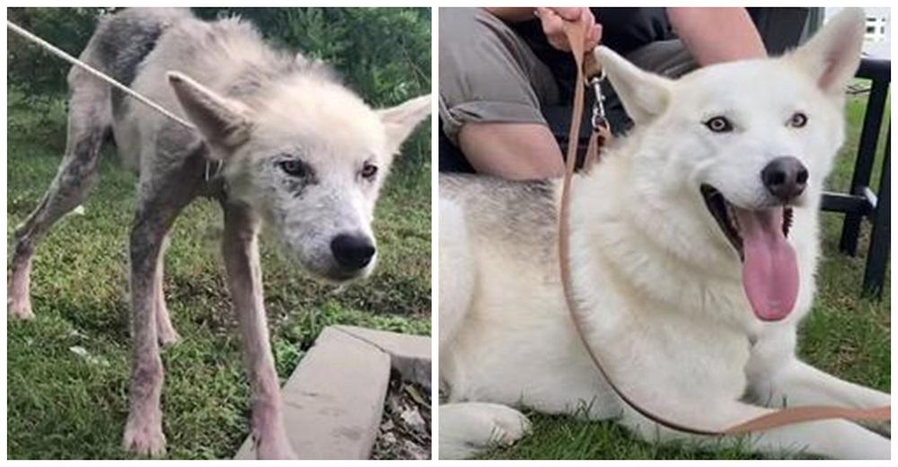 Un husky desnutrido logra una emocionante transformación tras ser salvado de manos de sus dueños