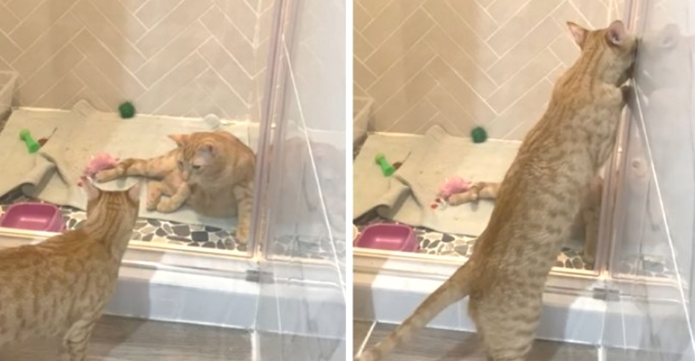 Gato aprende a abrir la puerta de la ducha para «liberar» a su hermano recién operado