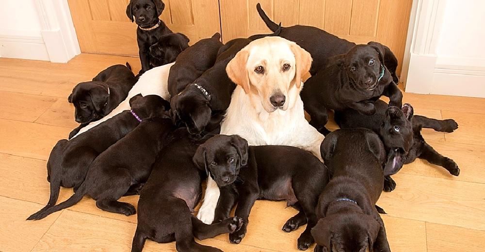 Una perrita labrador color crema queda confundida después de dar a luz 13 cachorritos negros