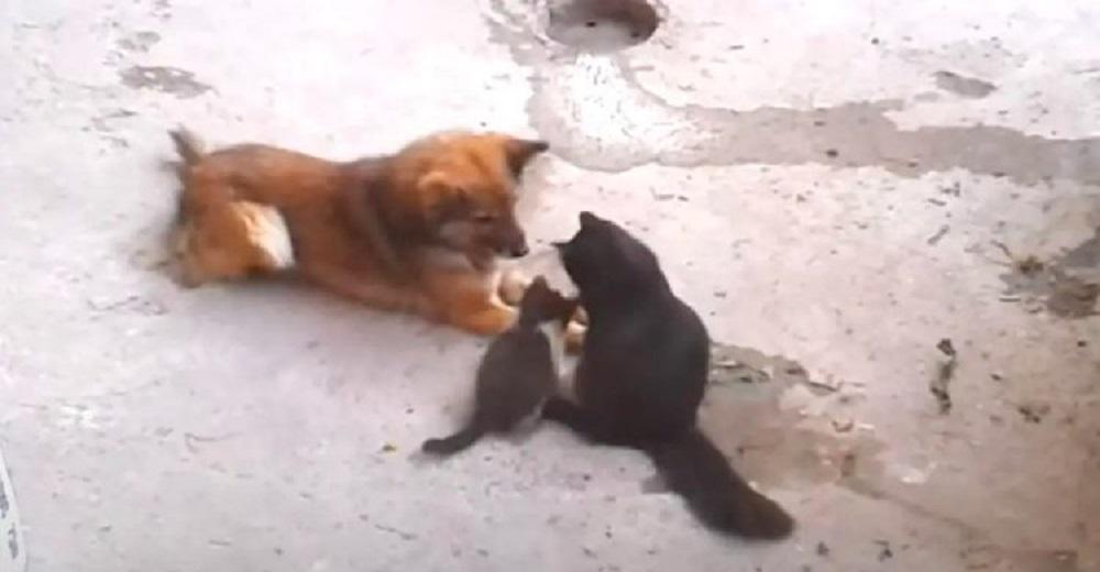 Mamá gata trae a sus gatitos recién nacidos para presentarles a su viejo amigo perro