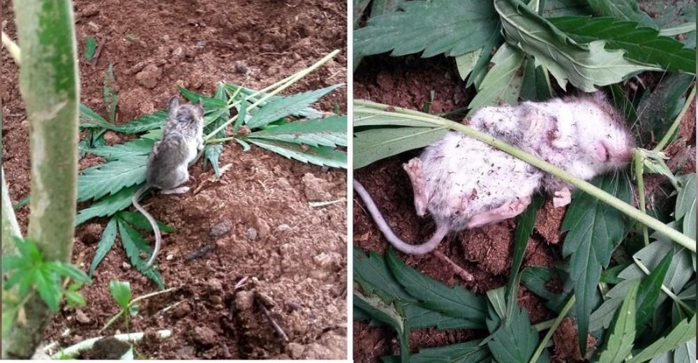 Descubre a un ratón intruso comiéndose su planta de cannabis y termina con problemas de adicción