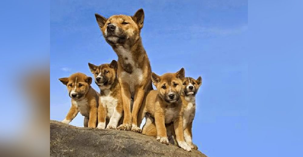 Descubren ejemplares de una raza de perro que se creía extinta desde hace 50 años