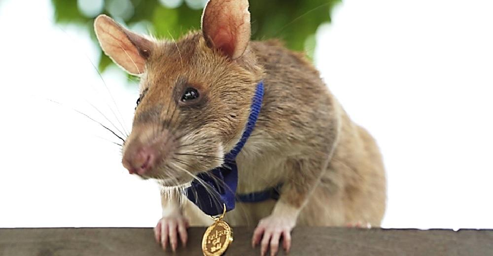 Condecoran a una ratita con una medalla de oro después de haber arriesgado todo por salvar vidas
