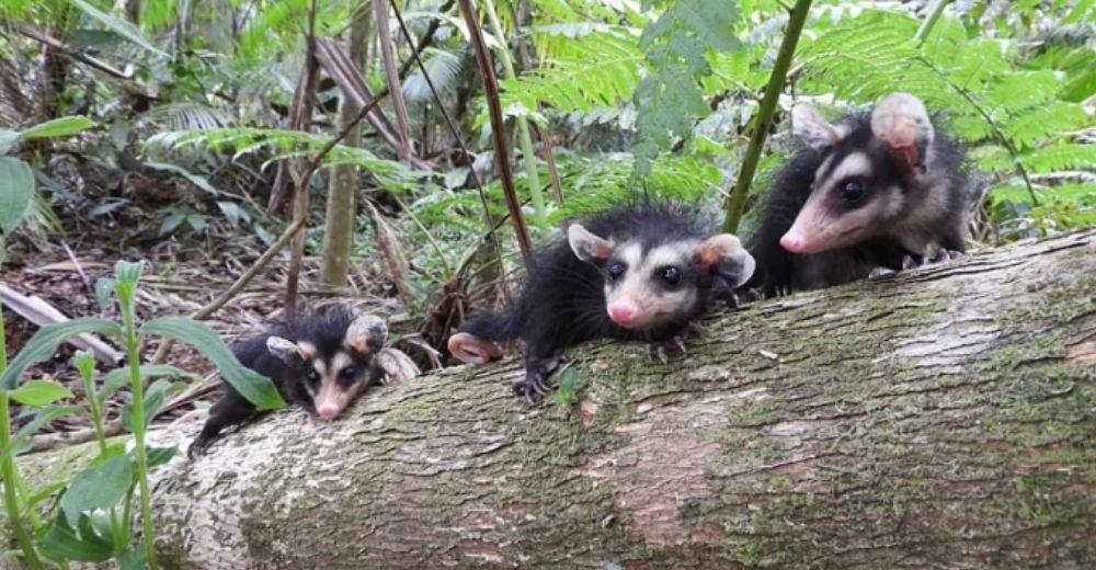 Encuentran 3 diminutas crías de zarigüeya de orejas blancas sin la protección de su madre