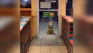 Perrita sin hogar espera cada noche afuera de un local de sándwiches para comer sin pagar