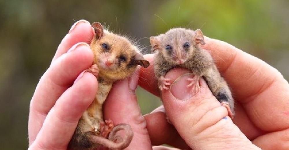 Aparecen raras diminutas criaturas que los expertos creyeron extintas tras los incendios