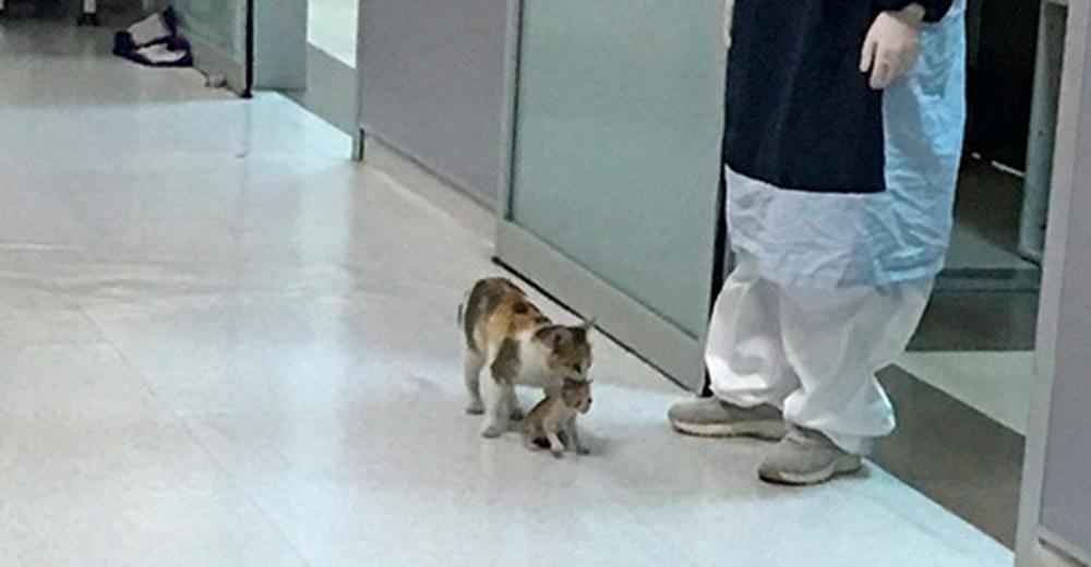Una gata sin hogar entra a un hospital pidiendo ayuda desesperada para su bebé