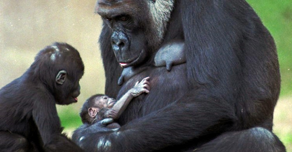 Confirman el primer caso oficial de varios gorilas contagiados de Covid por transmisión natural