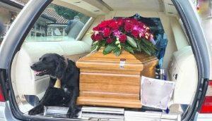 Una perrita fiel se niega a separarse del féretro de su dueño fallecido camino al cementerio