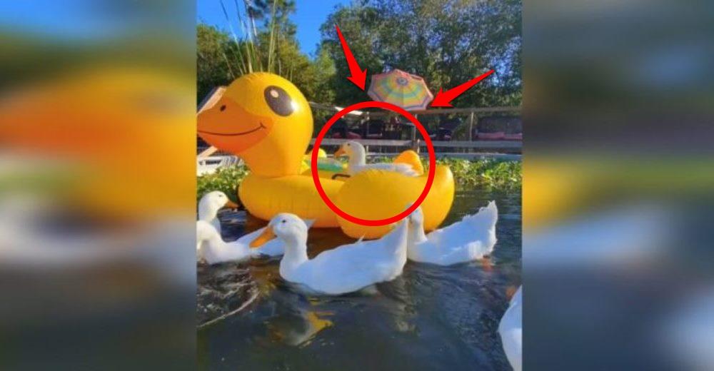 Es el único pato que no sabe nadar y se enorgullece mostrando su flotador gigante