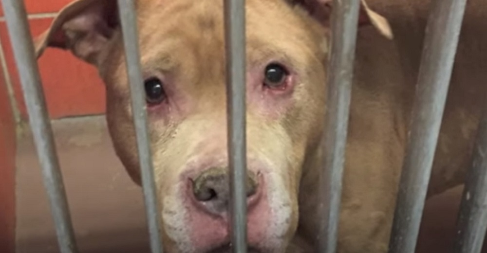 Rescatan al pitbull más lloroso abandonado en una fría jaula para darle los mejores últimos días
