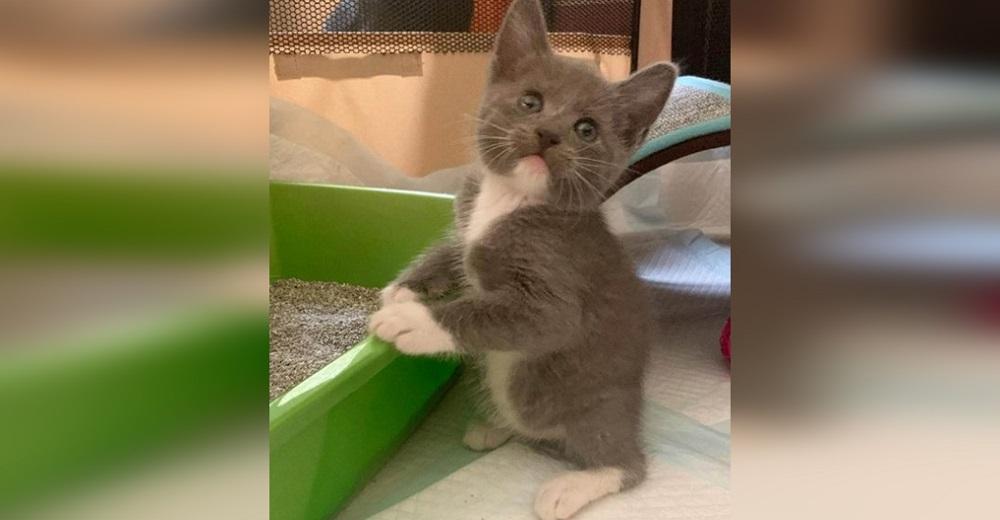 Gatito que nació sin nada de cola no para de saltar como conejito para mostrar su fuerza