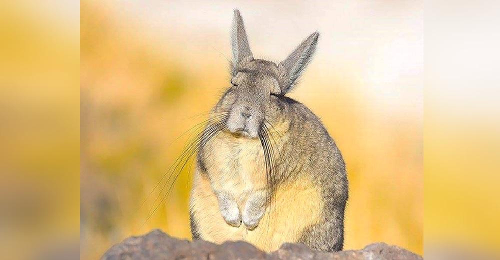 El raro roedor de 4 deditos que parece siempre estar agotado, aburrido y necesitando una siesta