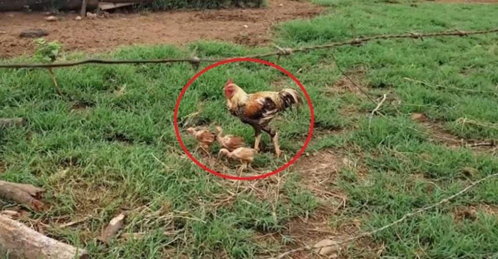 Un gallo se convierte en el papá del año tras la muerte de su pareja