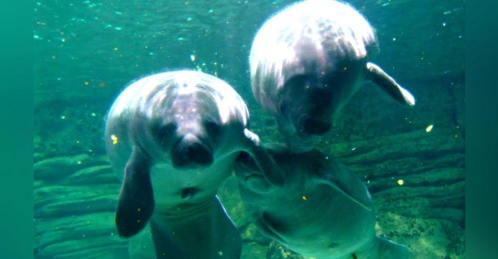 Sacan del mar a 3 jóvenes manatíes para salvarlos de un desenlace fatal causado por los humanos