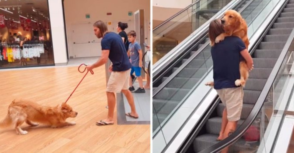 Golden retriever atemorizado se niega a subir las escaleras eléctricas y su papá lo ayuda