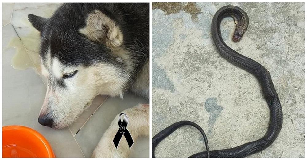 El perrito más fiel sacrifica su vida luchando contra una cobra mortal para salvar a su familia