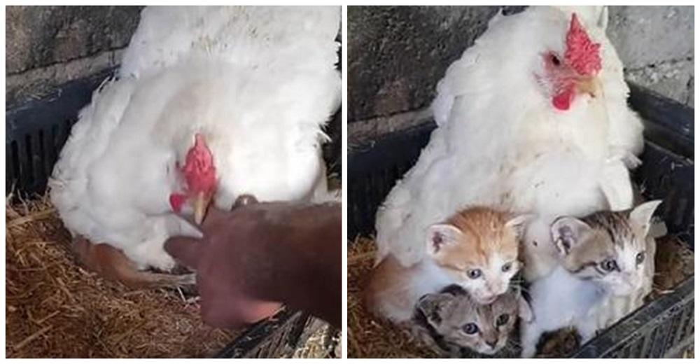 Un hombre encuentra a su gallina «empollando» amorosamente a tres gatitos huérfanos