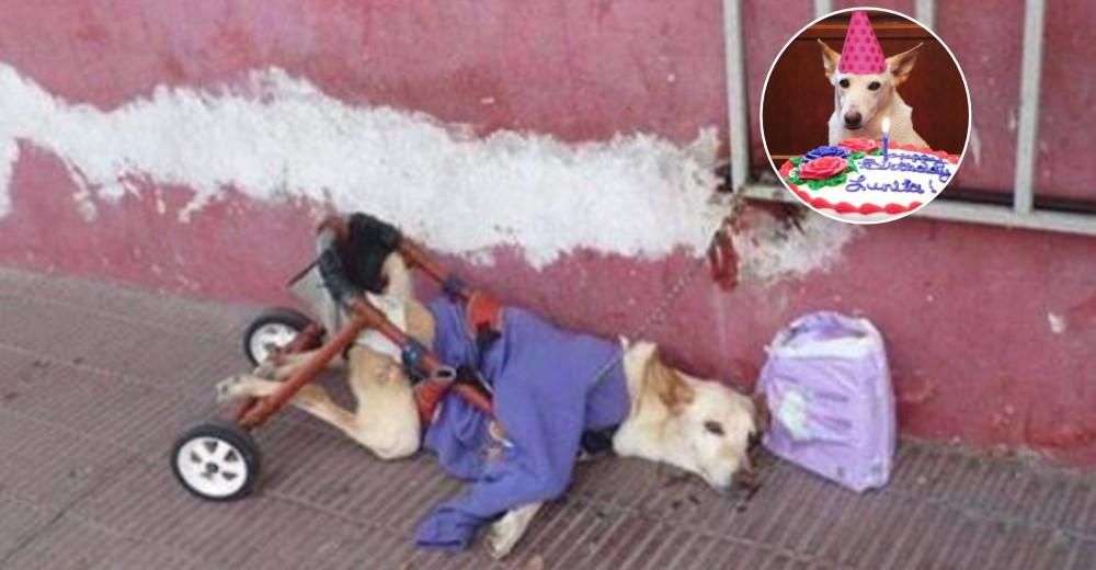 Lunita, la perrita en silla de ruedas que recuperó las ganas de vivir cuando la rescataron