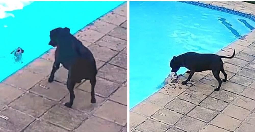 Cámara de seguridad graba a una perrita salvando la vida de su hermanito que cayó en la piscina