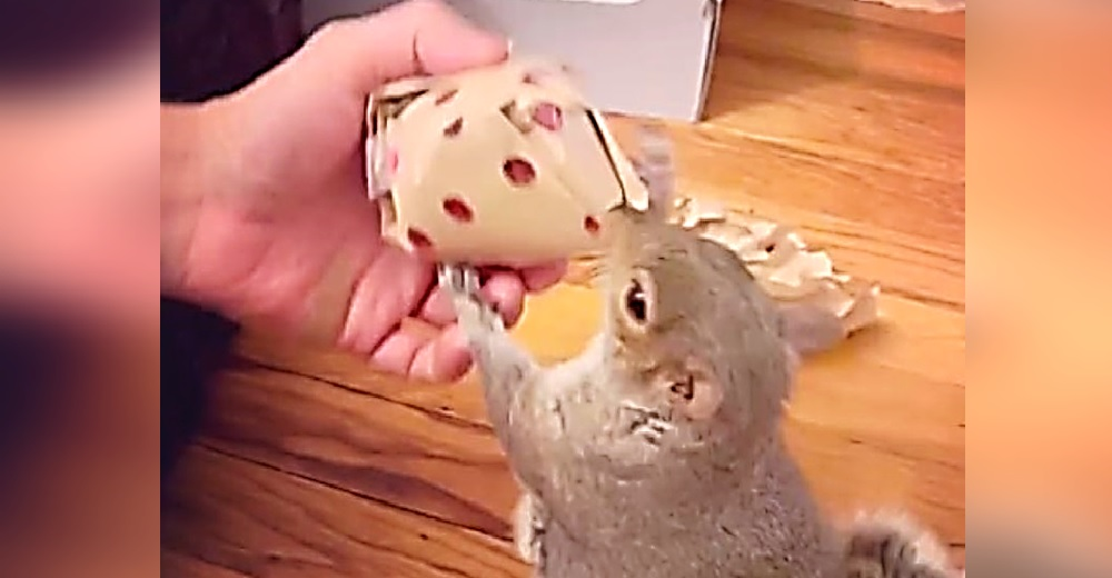 Una adorable ardilla rescatada es grabada cuando abre el regalo que le entregaron sus héroes