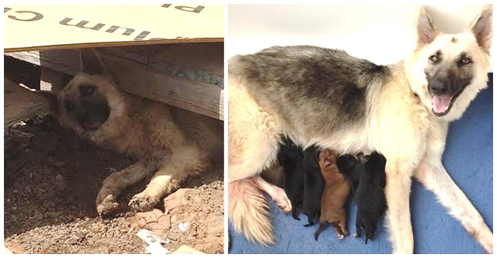 Rescatan a la perrita demacrada y débil que hizo de todo para dar a luz bajo una construcción