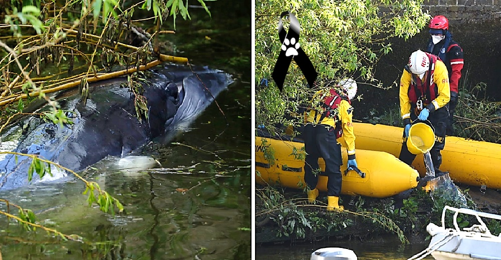 Deciden sacrificar a la vista de todos a la ballena bebé que luchó por su vida lejos de su mamá