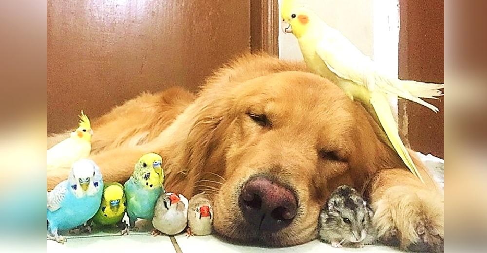 Un perro Golden, 8 pajaritos y un hámster demuestran su vida de paz y armonía y se hacen virales