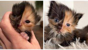Gatito huérfano abandonado parece dos gatos diferentes fusionados en uno solo
