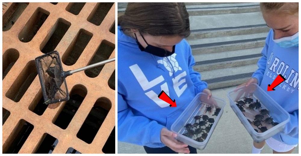 Improvisan una herramienta casera y salvan a más de 800 tortugas bebés atoradas en desagües