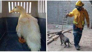 Bomberos acuden al llamado de un pato arrojado a la basura y lo rescatan junto a 6 animales más
