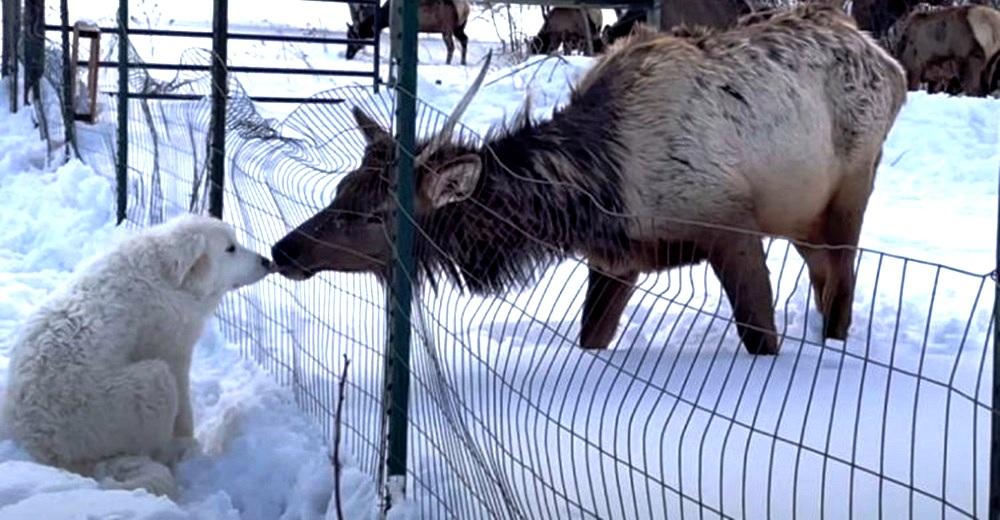 Graba a un alce salvaje acercándose a su cachorrito Gran Pirineo