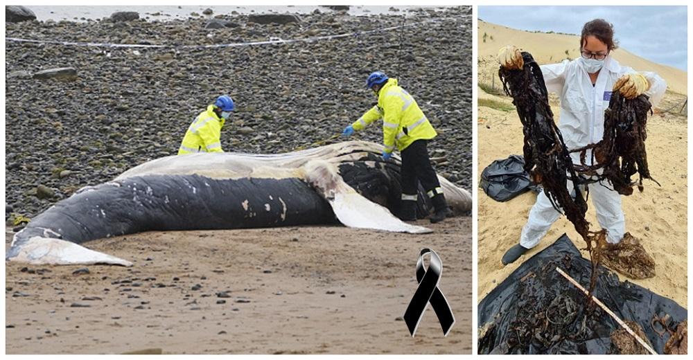 Aparece en la playa una ballena extremadamente delgada con 16 kilos de plástico en su estómago