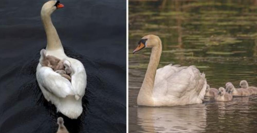 Padre cisne se encarga de criar a sus 7 bebés tras perder a su madre