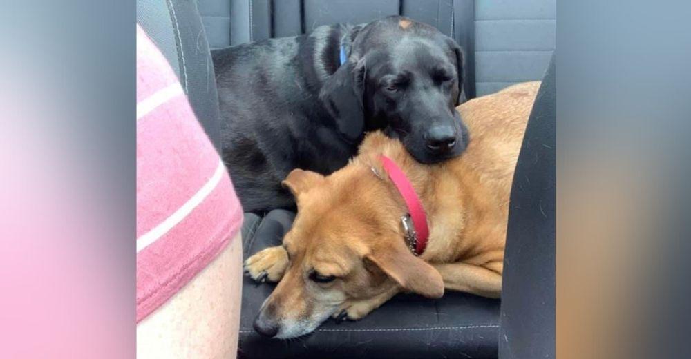 Protector perrito sabe cuando su hermana canina está a punto de vomitar en el coche y la ayuda