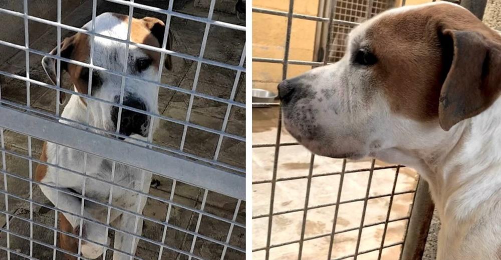 Pitbull rechazado y estigmatizado pasa sus días triste en su celda esperando que confíen en él