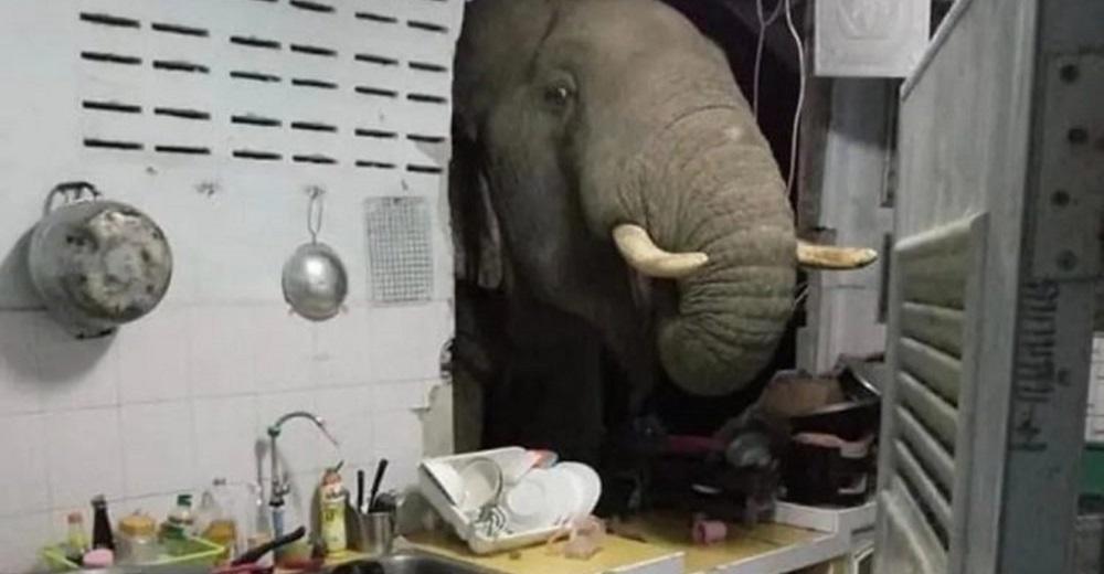 Mujer se encuentra con un elefante hambriento y desesperado derrumbando la pared de su cocina