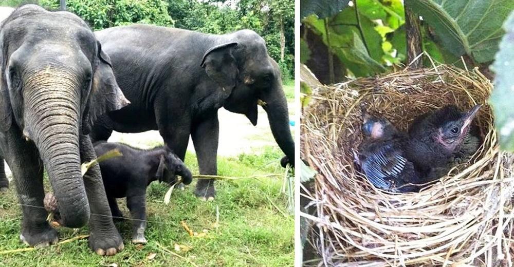 Elefantes destruyen una plantación entera de plátanos, excepto la que tenía un nido de pajaritos