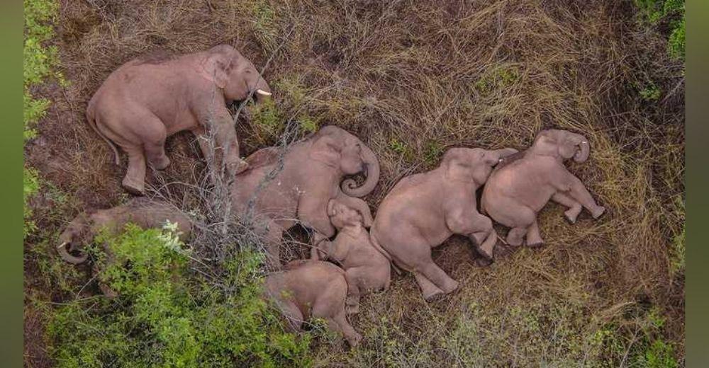 La manada de elefantes que migra a 500 Km de su hábitat continúa su viaje y el mundo los sigue