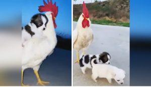 Graban a un preocupado gallo velando por dos perritos abandonados como si fueran sus hijos
