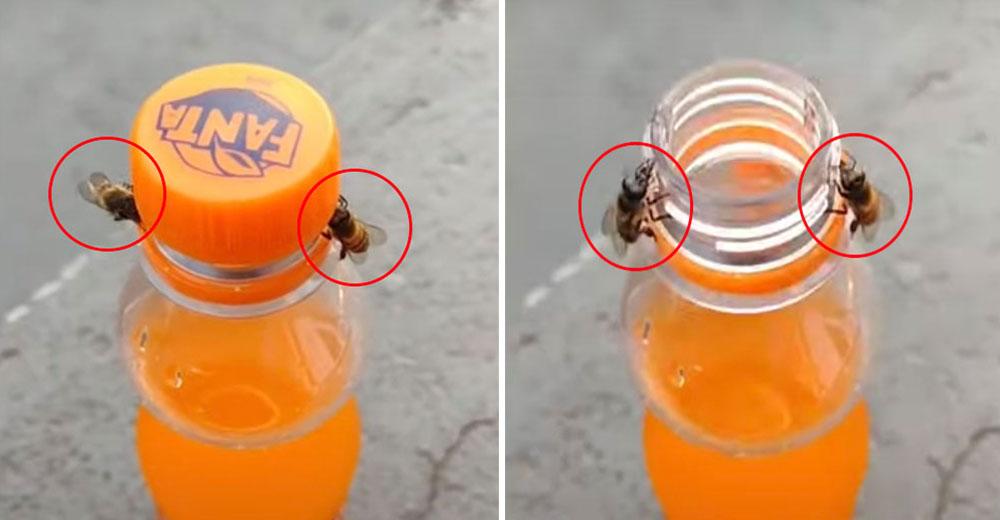 Dos abejas unen sus esfuerzos para destapar la bebida de una consternada mujer